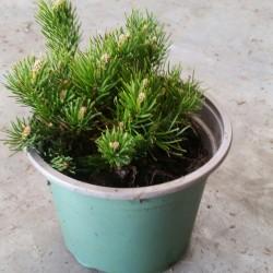 Pinus mugo Pumilio C2 10+