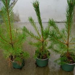 Pinus sylvestris 25-8-2014